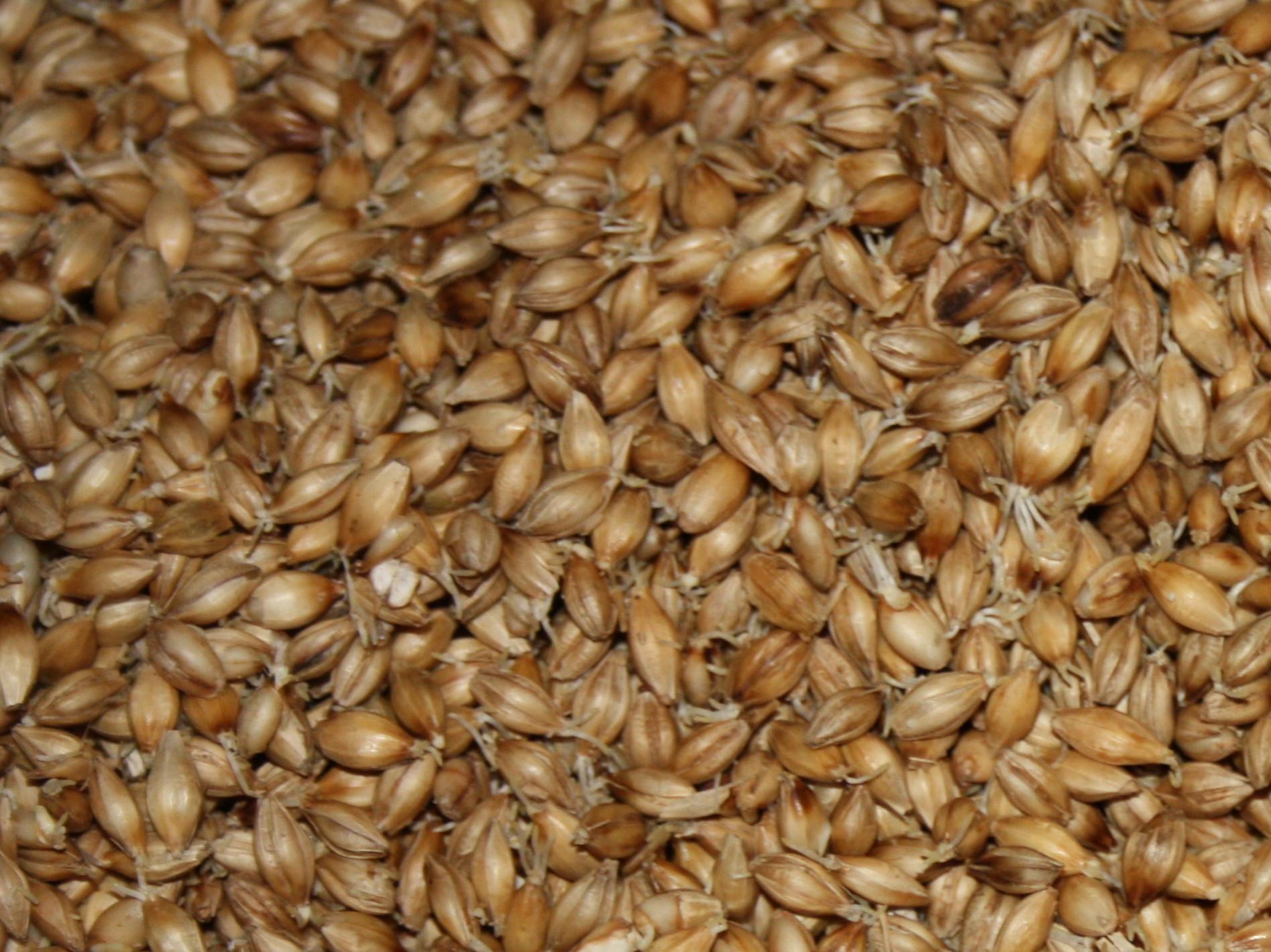 Barley6